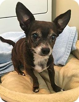 Chihuahua Mix Dog for adoption in New York, New York - Penelope! **FOSTER NEEDED**