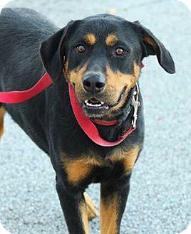 Labrador Retriever/Australian Cattle Dog Mix Dog for adoption in Lafayette, Indiana - Bones