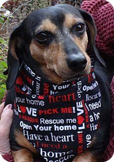 Dachshund Dog for adoption in Portland, Oregon - CHIPPER