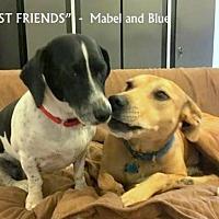 Catahoula Leopard Dog/Basset Hound Mix Dog for adoption in Denton, Texas - Blue + Mabel