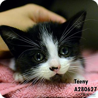 Domestic Mediumhair Kitten for adoption in Conroe, Texas - TEENY