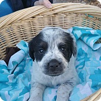 Adopt A Pet :: Snowy - GREENLAWN, NY