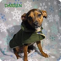 Adopt A Pet :: Darren - Batesville, AR
