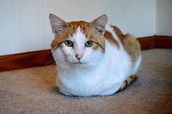 Domestic Shorthair Cat for adoption in Manitowoc, Wisconsin - Sam