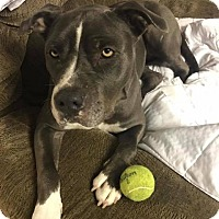 Adopt A Pet :: Lady Blue - Dearborn, MI
