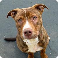 Adopt A Pet :: Sampson - Troy, MI