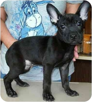 french bulldog lab mix french bulldog lab mix 1127