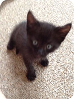 Domestic Mediumhair Kitten for adoption in Orlando, Florida - Eboni