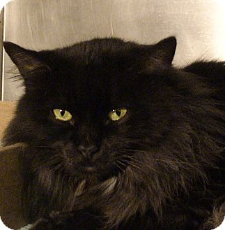 Domestic Longhair Cat for adoption in El Cajon, California - Wanda