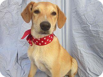 Labrador Retriever/Beagle Mix Puppy for adoption in El Cajon, California - KIKO