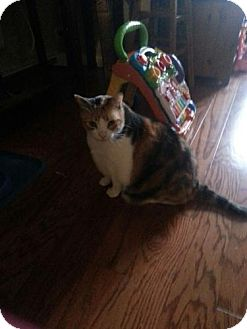 Domestic Shorthair Cat for adoption in Brooklyn, New York - Dolly