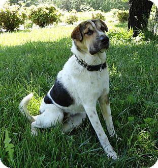 Shar pei boxer mix puppy for adption in brattleboro vermont quidich