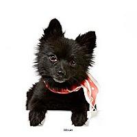 Adopt A Pet :: Delilah - New York, NY