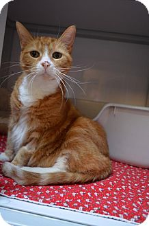 Domestic Shorthair Cat for adoption in Milwaukee, Wisconsin - Paws