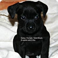 Adopt A Pet :: Daisy - Poughkeepsie, NY