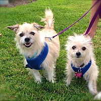 Terrier (Unknown Type, Small)/Maltese Mix Dog for adoption in Burbank, California - Rusty&Princess-VIDEO