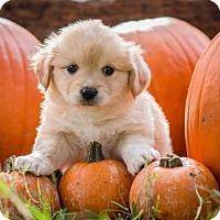Adopt A Pet :: Scramble - Austin, TX