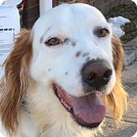 Adopt A Pet :: BROWNIE - Pine Grove, PA