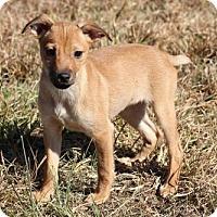 Adopt A Pet :: Min Pin Girl 3 - Christiana, TN