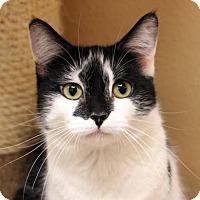 Adopt A Pet :: Belle - Dallas, TX