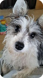 Silky Terrier/Chihuahua Mix Dog for adoption in Houston, Texas - Princess Leia