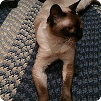 Adopt A Pet :: Jacob (young Siamese) - Witter, AR
