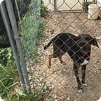 Hound (Unknown Type) Mix Puppy for adoption in Parker, Kansas - BamBam
