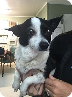 Jack Russell Terrier/Corgi Mix Dog for adoption in Columbia, Tennessee - Mabel