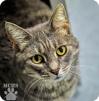 Domestic Shorthair Cat for adoption in Martinsville, Indiana - Miss Kitty Kitty