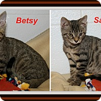 Domestic Shorthair Cat for adoption in Marietta, Ohio - Betsy & Sammy