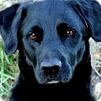 Adopt A Pet :: SCHAFFER(GORGEOUS LAB-SO SMART - Wakefield, RI