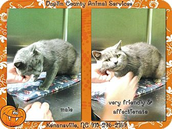 Domestic Shorthair Cat for adoption in Kenansville, North Carolina - BLUE