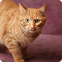 Adopt A Pet :: Sir Fluffsalot - Harrisonburg, VA