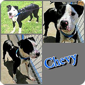 Labrador Retriever/Pit Bull Terrier Mix Dog for adoption in Arlington, Texas - Chevy