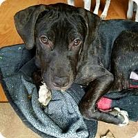 Adopt A Pet :: GATOR - joliet, IL