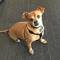 Chihuahua Mix Dog for adoption in Los Angeles, California - Clint
