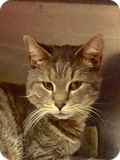 Domestic Shorthair Cat for adoption in Manchester, New Hampshire - Smirnoff;I'm @Petco Manchester