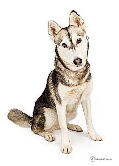 Siberian Husky Dog for adoption in Scottsdale, Arizona - Stacie