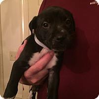 Adopt A Pet :: Sara - Colonial Heights, VA