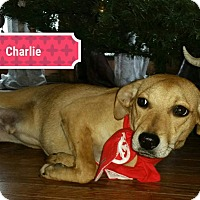 Labrador Retriever/Terrier (Unknown Type, Small) Mix Puppy for adoption in Lake In The Hills, Illinois - charlie