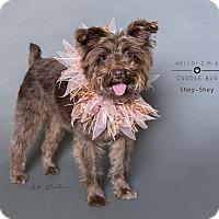 Adopt A Pet :: Shey-Shey - Houston, TX
