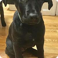 Adopt A Pet :: Sarge - Brattleboro, VT