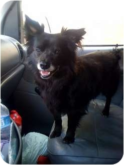 Pomeranian/Terrier (Unknown Type, Medium) Mix Dog for adoption in Fowler, California - Baby