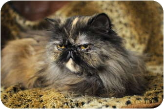 Persian Cat for adoption in Columbus, Ohio - Lexus