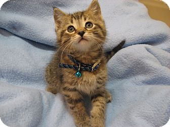Domestic Shorthair Kitten for adoption in Eagan, Minnesota - Jingle
