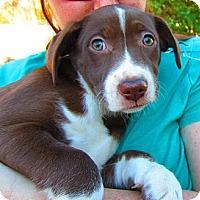 Adopt A Pet :: Sarafina - Alexandria, VA