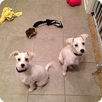 Adopt A Pet :: Buttercup and Sugar - Chicago, IL