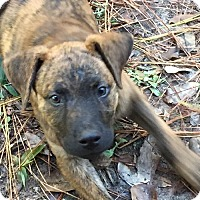 Plott Hound Mix Dog for adoption in Tomball, Texas - lucy