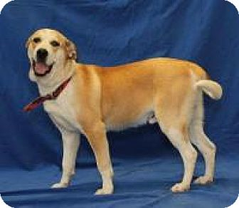 House springs mo labrador retriever mix meet hunter a for Dog house for labrador retriever