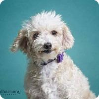 Adopt A Pet :: Princess Suzette - Phoenix, AZ